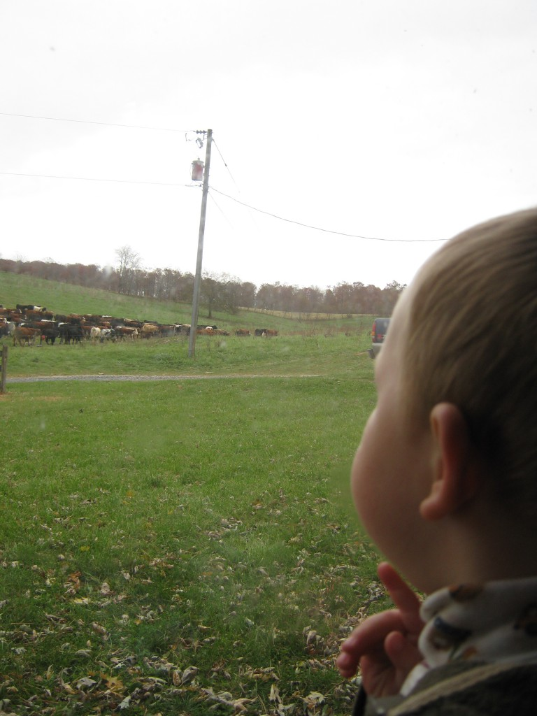 Watching daddy move the cows.