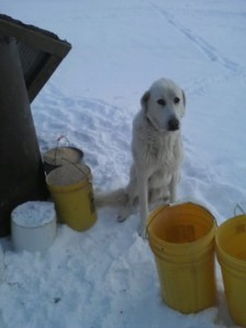 Michael waiting for me outside of hoop house 3 as I feed chickens :)